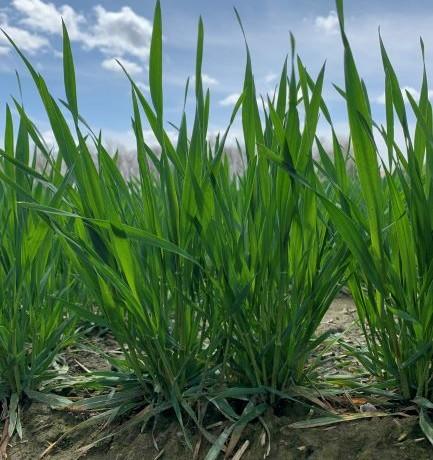 石川農園 小麦3